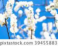 桃花 花朵 花 39455883