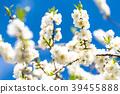桃花 花朵 花 39455888