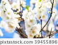 桃花 花朵 花 39455896