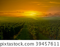 Vineyard Sunrise in Bordeaux Vineyard, Gironde 39457611