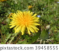 dandelion, bloom, blossom 39458555