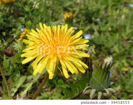 dandelion, bloom, blossom 39458555