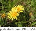 민들레, 꽃, 플라워 39458556