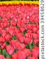 꽃, 플라워, 튤립 39458629