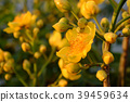 buttercup tree blossom bright  in yellow 39459634