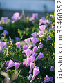 Nice violet morning glory flower 39460352