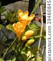 후리지아, 프리지아, 꽃 39460845