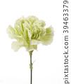 녹색, 카네이션, 흰배경 39463379