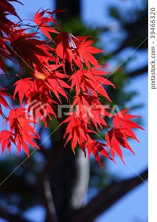 단풍, 잎, 이파리 39466320