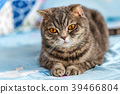 Grey British Shorthair cat portrait 39466804