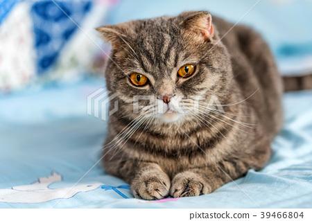 Grey British Shorthair cat portrait 39466804