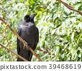 조류, 새, 까마귀 39468619