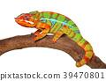 Chameleon crawling 39470801