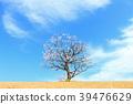 日本杏树 梅花树 花朵 39476629