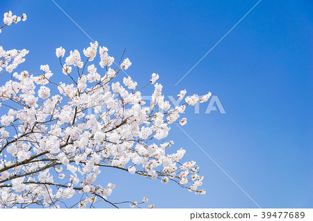 Cherry blossoms and blue sky 39477689