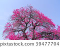 복숭아꽃, 꽃, 플라워 39477704