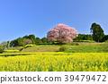 바바 산 벚나무 39479472