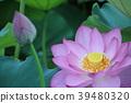 蓮花,Shinobazu池塘 39480320