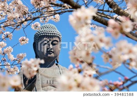 ดอกซากุระและอุจิกุไดบะบุเบะบานสะพรั่ง 39481588