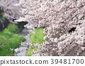 ดอกซากุระบาน,ซากุระบาน,ดอกไม้ 39481700