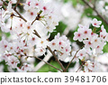 ดอกซากุระบาน,ซากุระบาน,ดอกไม้ 39481706