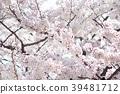 ดอกซากุระบาน,ซากุระบาน,ดอกไม้ 39481712