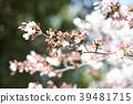 ดอกซากุระบาน,ซากุระบาน,ดอกไม้ 39481715