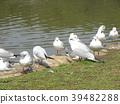紅嘴鷗 百合海鷗 百合海鷗號 39482288
