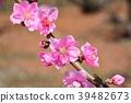 복숭아, 복숭아나무, 봄의 39482673
