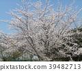 櫻花盛開 櫻桃樹 櫻花 39482713