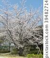 櫻花盛開 櫻桃樹 櫻花 39482714