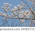 櫻花盛開 櫻桃樹 櫻花 39482715