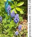 葡萄風信子 藍色 藍 39482718