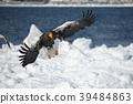 浮冰 海鹰 恒星的海鹰 39484863