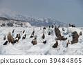 浮冰,大鹰,白尾海,知床山脉(北海道罗臼町) 39484865