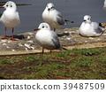 紅嘴鷗 百合海鷗 百合海鷗號 39487509