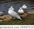 紅嘴鷗 百合海鷗 百合海鷗號 39487510