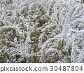 繡線菊類 花朵 花 39487804