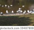 紅嘴鷗 百合海鷗 百合海鷗號 39487808