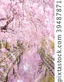 尼卡素 樱花 樱桃树 39487871