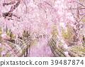 尼卡素 樱花 樱桃树 39487874