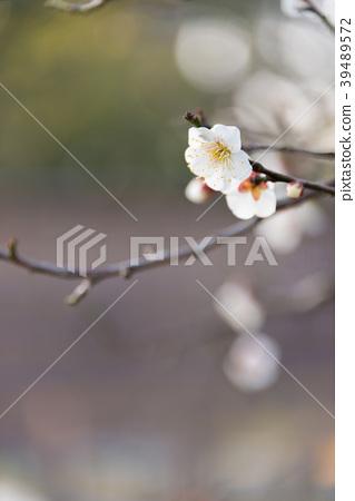 ลูกท้อ,บ๊วย,ดอกไม้ 39489572