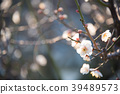 ume, bloom, blossom 39489573