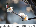 ume, bloom, blossom 39489574