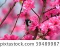 참새, 복숭아꽃, 꽃 39489987