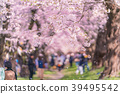 일본의 봄 쿠마 가이 사쿠라 즈 츠미의 벚꽃 39495542