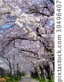 ดอกซากุระบาน,ซากุระบาน,สวน 39496407