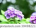 hydrangea, bloom, blossom 39498221