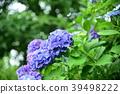 hydrangea, bloom, blossom 39498222