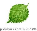 白苏 紫苏叶 蔬菜 39502396